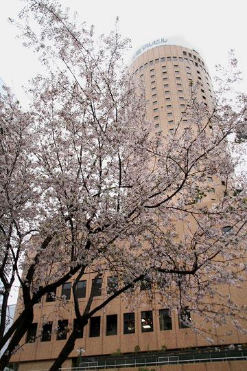 マルビル前の桜