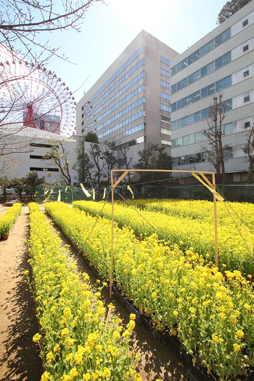 梅田に菜の花b