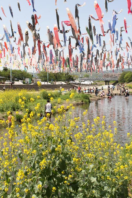 高槻芥川桜堤公園の鯉のぼりb